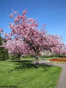 Japanische Kirschbluete - Cherry Blossom Tree - copyright Helen White